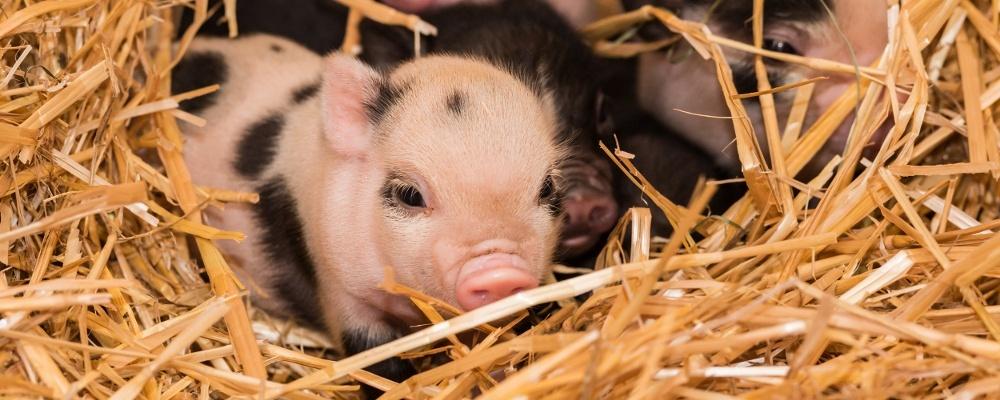 Minipig, Ferkel, Schwein, © Zoo Basel