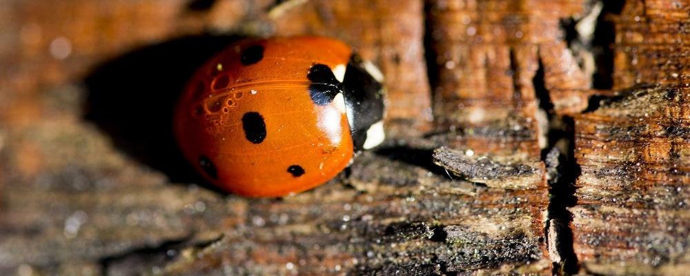 Marienkäfer, Insekt, Holz, © Pixabay