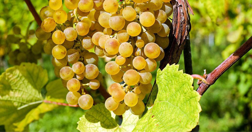 Weinreben, Winzer, Weintrauben, © Pixabay (Symbolbild)