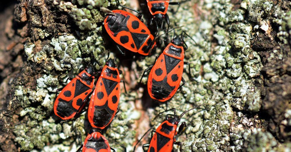 Feuerwanzen, Käfer, Insekten, © Pixabay (Symbolbild)