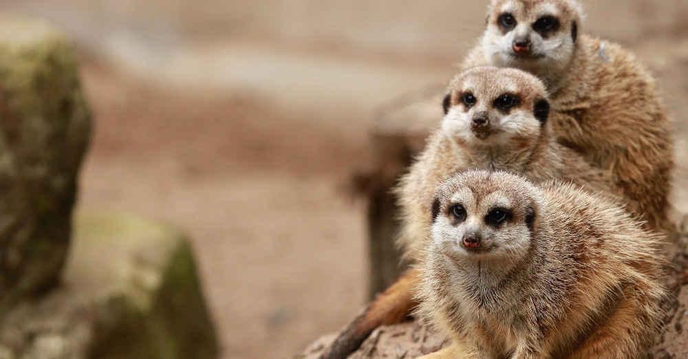 Erdmännchen, Zoo, Mundenhof, Freiburg, Tiergehege, Tierpark, © Pixabay (Symbolbild)
