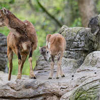 Zoo Basel, Zolli, Tiere, Nachwuchs, Mufflon