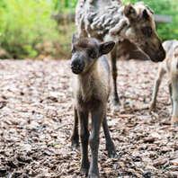 Zoo Basel, Zolli, Tiere, Nachwuchs, Rentier