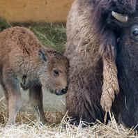 Zoo Basel, Zolli, Tiere, Nachwuchs, Bison