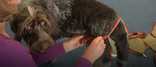 Hund, Hundewindel, Windel, piccobello, © baden.fm