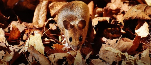 Maus, Laub, Wald, © Pixabay (Symbolbild)