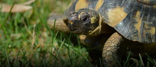 Griechische Landschildkröte, Schildkröte, © Pixabay (Symbolbild)