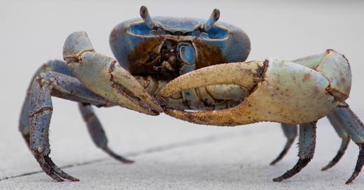 Krabbe, Messer, Gangster Crab, © Wikimedia/Alex Barabas