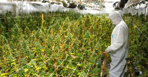 Plantage, Cannabis, Hanf, © Philipp Schulze - dpa