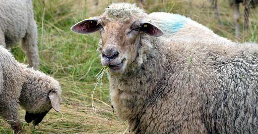 Schafe, Schafherde, © Pixabay