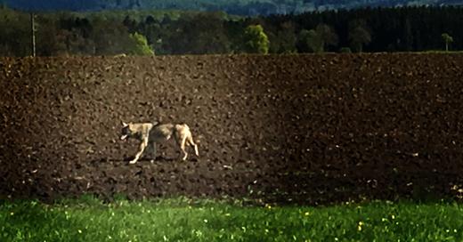 Wolf, Schwarzwald, © Forstliche Versuchs- und Forschungsanstalt BaWü
