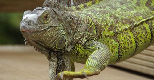 Leguan, Reptil, © Pixabay
