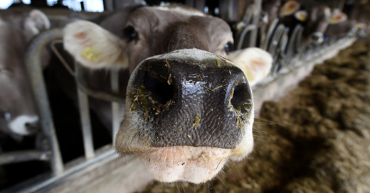 Kuh, Stall, Vieh, © Felix Kästle - dpa