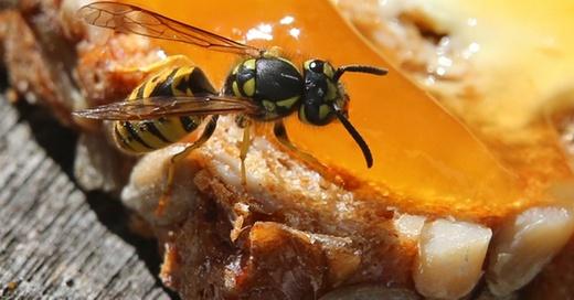 Wespe, Insekten, © Karl-Josef Hildenbrand - dpa