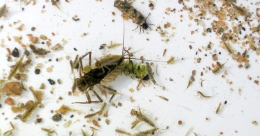 Insekten, Larven, Fluss, © Landratsamt Lörrach