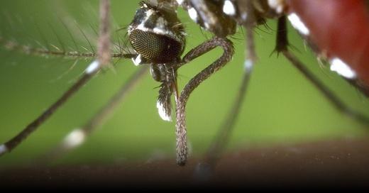Asiatische Tigermücke, Stechmücke, © Pixabay (Symbolbild)