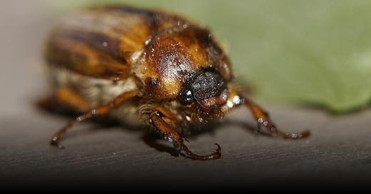 Junikäfer, Insekt, © Pixabay (Symbolbild)