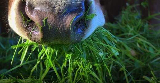Kuh, Rind, Stall, Landwirtschaft, © Pixabay (Symbolbild)