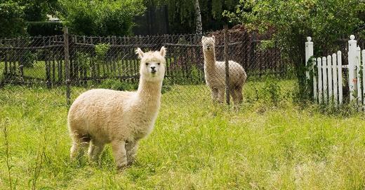 Alpaka, Tiere, Weide, Wiese, Streichelzoo, © Pixabay
