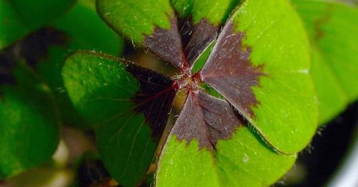 Glück, Vierblättriges Kleeblatt, © Caroline Seidel - dpa (Symbolbild)