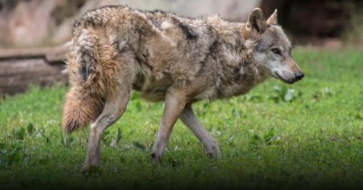 Wolf, Wildtier, © Wolfram Kastl - dpa (Symbolbild)