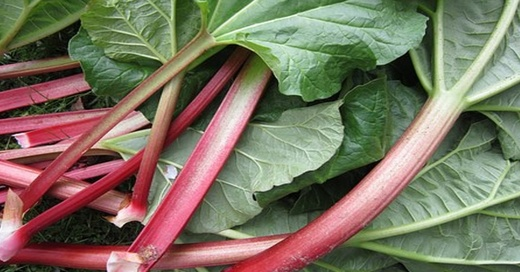 Rhabarber, Pflanze, Stielgemüse, © pixabay.com