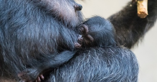 Schimpansen, Nachwuchs, Zoo, Basel, Zolli, © Zoo Basel