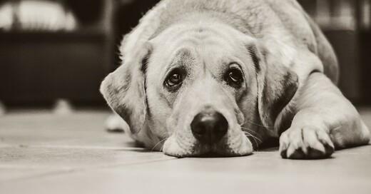 Hund, Labrador, traurig, © Pixabay (Symbolbild)