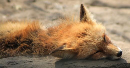 Fuchs, tot, Staupe, © Pixabay (Symbolbild)