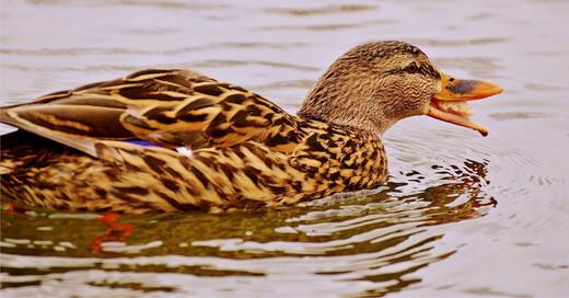 Ente, Tiere, Futter, Wasser, © Pixabay (Symbolbild)