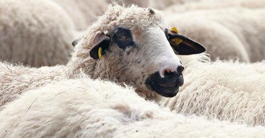 Schaf, Herde, Vieh, © Pixabay (Symbolbild)