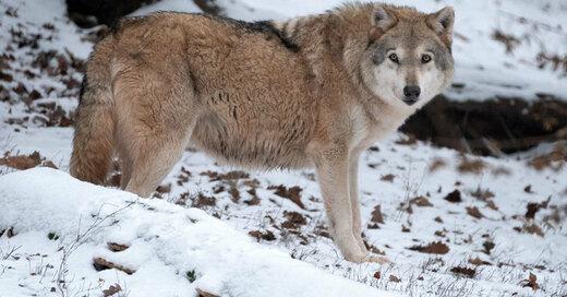 Wolf, Wildtier, Schnee, Winter, © Bernd Weissbrod - dpa (Symbolbild)