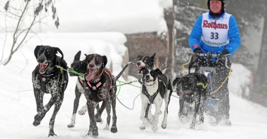Schlittenhunde, Rennen, © Uli Deck - dpa