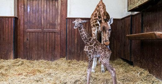 Giraffe, Nachwuchs, Zoo Basel, Zolli, © Zoo Basel