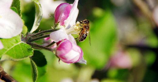 Apfelbaum, Biene, Blüte, © Pixabay (Symbolbild)