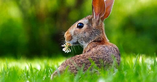 Feldhase, Osterhase, Ostern, Frühling, © Pixabay (Symbolbild)