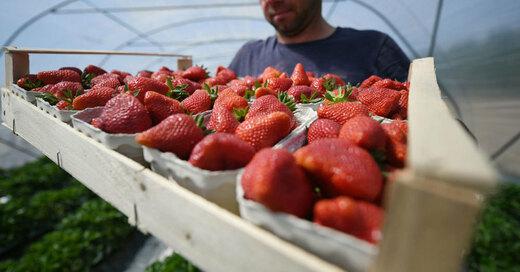 Erdbeeren, Erntehelfer, Polen, © Patrick Seeger - dpa (Symbolbild)