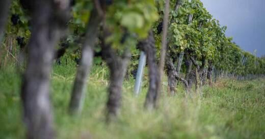 Wein, Trauben, Reben, Winzer, © Sebastian Gollnow - dpa (Symbolbild)