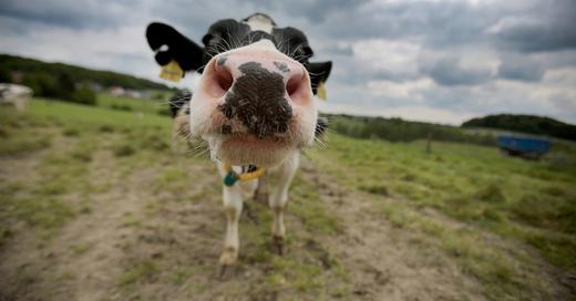 Kuh, Rind, © Oliver Berg - dpa (Symbolbild)