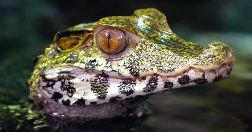 Kaiman, Krokodil, Reptil, © Pixabay (Symbolbild)
