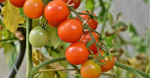 Tomaten Strauch Gruen, © Pixabay (Symbolbild)