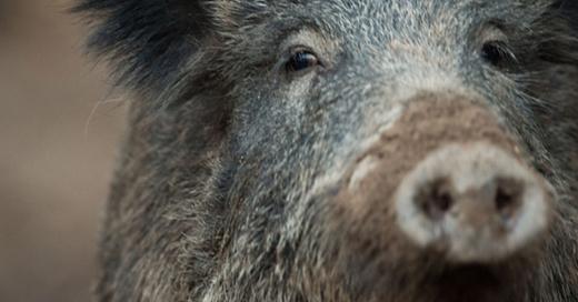 Wildschwein, Sau, © Lino Mergeler - dpa