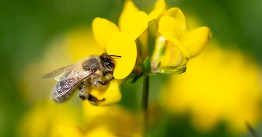 Symbolbild: Biene auf Blüte, © dpa/Fabian Sommer