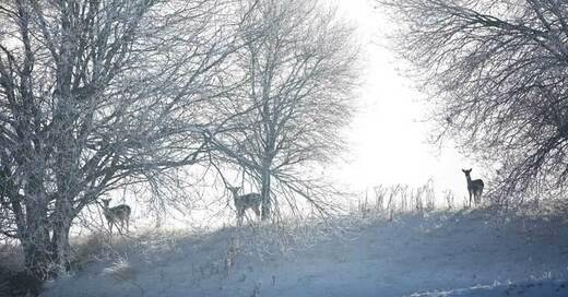 Rehe, Wild, Jagd, Schnee, Schwarzwald, Winter, © Philipp von Ditfurth - dpa (Symbolbild)