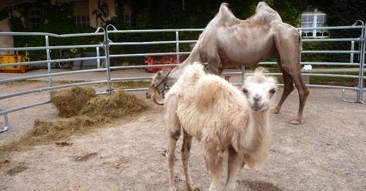 Mundenhof, Tiergehege, Zoo, Kamele, © Pixabay (Symbolbild)
