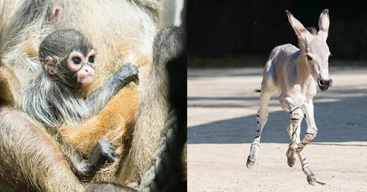 Zolli, Zoo Basel, Somali-Wildesel, Klammeraffen, © Zoo Basel