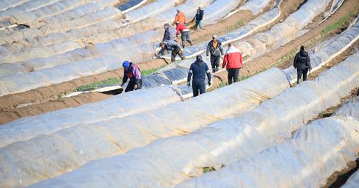 Spargelernte, Saisonarbeiter, Erntehelfer, Landwirtschaft, © Sebastian Gollnow - dpa (Symbolbild)