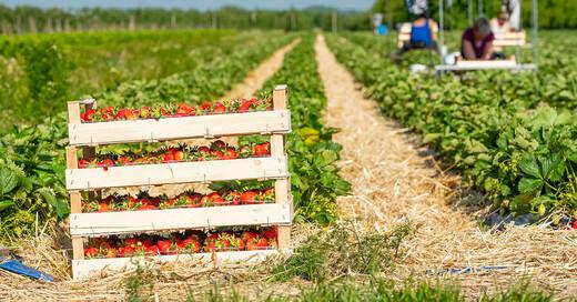 Erdbeerernte, Erdbeeren, Saisonarbeiter, Erntehelfer, © Obstgroßmarkt Mittelbaden