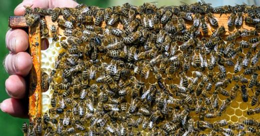 Imker, Bienen, Honig, Waben, © Patrick Pleul - dpa
