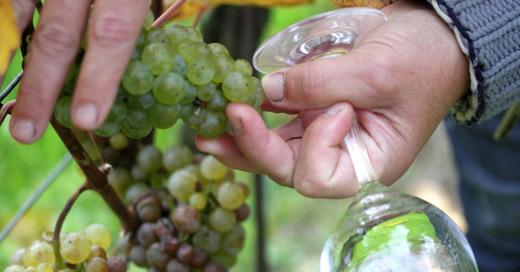 Winzer, Weinlese, Weintrauben, Wein, Herbst, Reben, © Pixabay (Symbolbild)